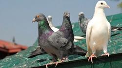 Obrońcy praw zwierząt krytykują Papieża za...wypuszczane gołębie! - miniaturka