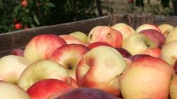 Polska największym eksporterem jabłek na świecie - miniaturka