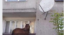 Koń na balkonie! - miniaturka