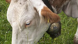 """Dania: """"prawa zwierząt ważniejsze od religii"""" - miniaturka"""