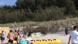 Szok! Dzik w Karwi zaatakował ludzi na plaży FILM - miniaturka