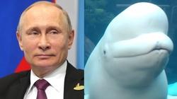 Zatrzymano wieloryba na żołdzie Kremla - miniaturka