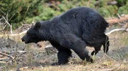 Rosja - Niedźwiedź z podkulonym ogonem - miniaturka