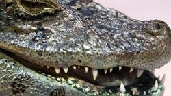 Aligatory nie lubią przekleństw - miniaturka