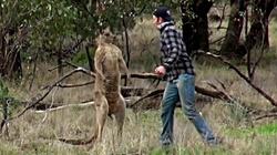 Mężczyzna zaatakowal kangura - bronił swojego psa - miniaturka