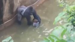 Przerażające! 4-latek wpadł do fosy z gorylem Zobacz co się stało!  - miniaturka