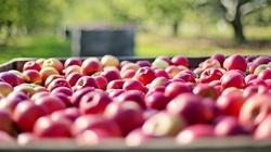 Niemcy walczą z polskimi jabłkami, bo są za dobre! - miniaturka
