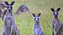 Australia: Jedzcie kangury, bo inaczej one zjedzą nas!!! - miniaturka