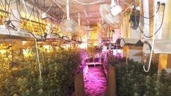 Zlikwidowano linię produkcyjną do wytwarzania marihuany i nielegalną plantację konopi - miniaturka