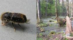 Leśnik ujawnia: Ekolodzy doprowadzili do zagłady świerka w Puszczy Białowieskiej - miniaturka