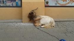 Wyszli z kozą na spacer w Krakowie i .... - miniaturka