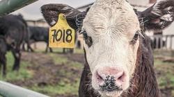 Przerażające! Gwiazda Dawida i pasiaki na krowach. Tak się bawią ekologiści  - miniaturka