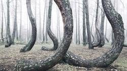 Krzywy las! Co za niezwykłe zjawisko! - miniaturka