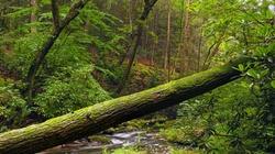 Skandal!!! Ekolewusy przykuci do drzew, a leśniczy ich ,,olał''' - miniaturka