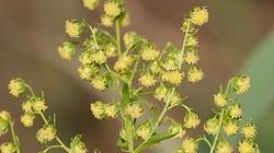 Niepozorna roślina najlepszym lekiem na raka?! - miniaturka