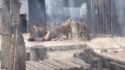 DRAMAT! Nagi mężczyzna skoczył na wybieg z lwami - miniaturka