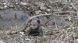 Leśnicy uratowali małego niedźwiadka - dziewczynkę! - miniaturka