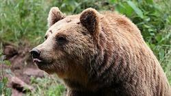 Jedziesz w góry? Uwaga na niedźwiedzie! - miniaturka