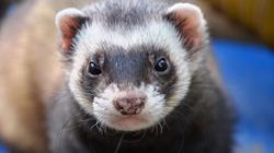 Nie będzie zakazu hodowli zwierząt futerkowych? Do projektu ustawy złożono autopoprawki - miniaturka