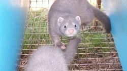 Co z hodowlą zwierząt futerkowych? 'Lump, który źle traktuje zwierzęta, nie będzie mógł dalej ich hodować' - miniaturka
