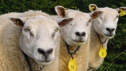 PiS za całkowitym zakazem klonowania zwierząt - miniaturka