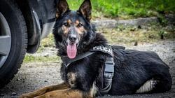 Policyjny pies uratował dziecko w Biesnej w Małopolsce - miniaturka