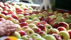 Rosjanie wyrzucali na śmietnik tony polskich jabłek - miniaturka