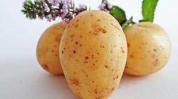 Tajemniczy eliksir spod ziemi, czyli... sok z ziemniaka - miniaturka