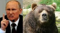 Rosyjski niedźwiedź coraz bardziej bezczelny - miniaturka