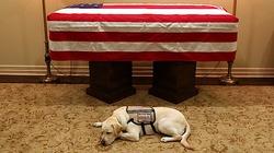 Wzruszające. Pies George'a H. W. Busha czuwa przy jego trumnie - miniaturka