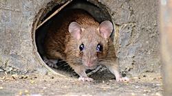 Koszmar! Plaga szczurów w Warszawie. Kobieta z synem musi spać w samochodzie - miniaturka