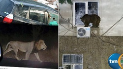 Biblijne sceny w stolicy Gruzji. Lwy, tygrysy, niedźwiedzie na ulicach - miniaturka
