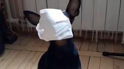 Z Internetu. Ten pies bardzo poważnie podszedł do sanitarnych zaleceń - miniaturka