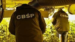 Cela Plus: CBŚP zlikwidowało ogromną plantację konopi - miniaturka