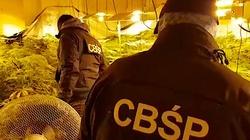 Żniwa w wydaniu CBŚP: ,,Zebrano'' gigantyczne ilości marihuany. Aresztowania w toku.. - miniaturka