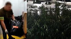 Cela Plus: Ogromna plantacja marihuany w pieczarkarni. Akcja CBŚP - miniaturka