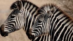 Niecodzienny widok na Pomorzu - zebra w lesie - miniaturka